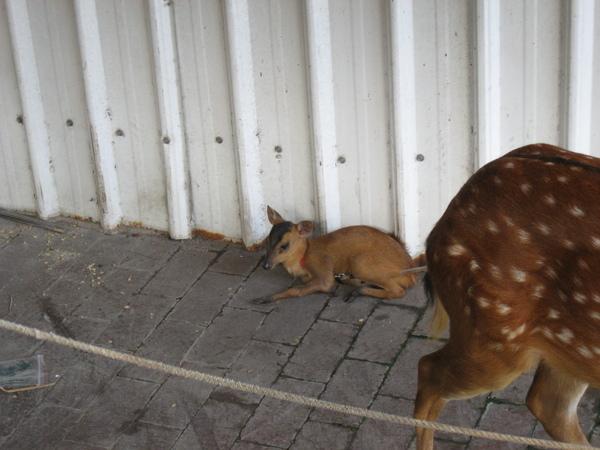 小小鹿一枚