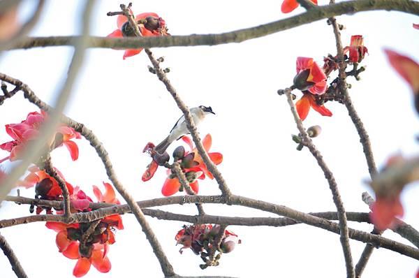 木棉與鳥n