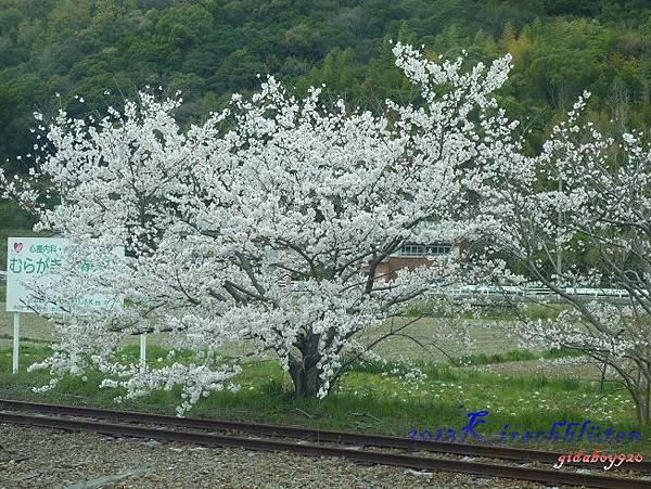 沿途的櫻花