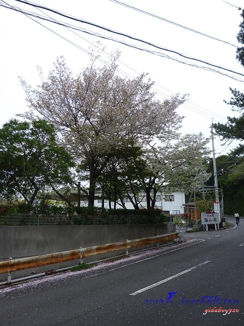往平草原公園路上的櫻花