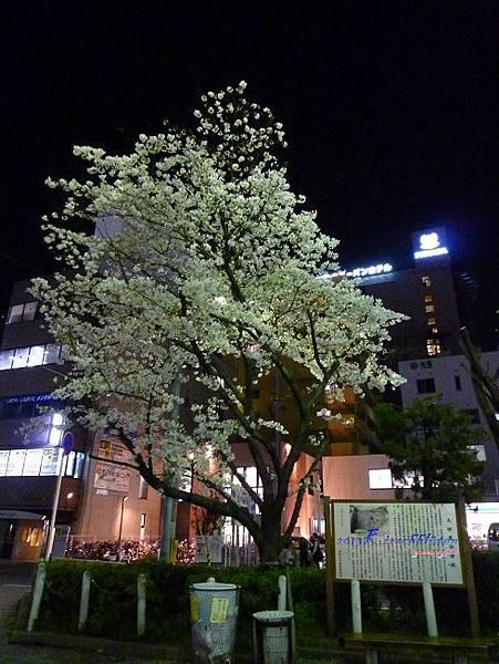 JR和歌山駅東口櫻花