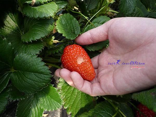 沒有農藥的草莓