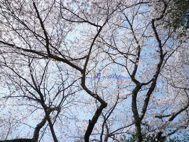 伊太祁曽神社的櫻花