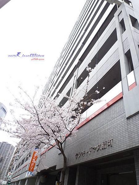 飯店附近大樓外的櫻花