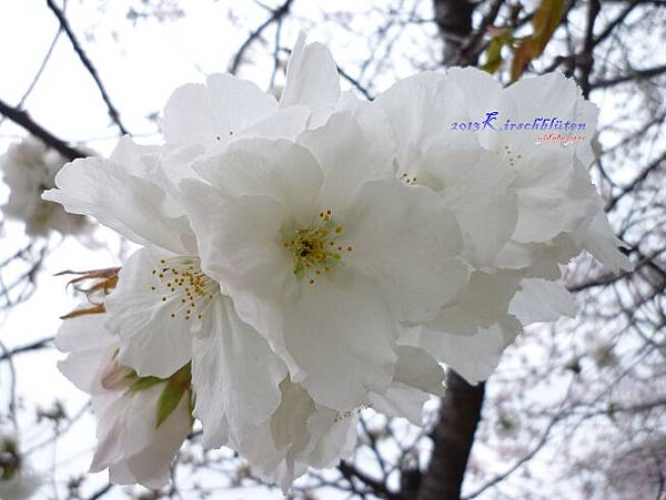櫻之宮公園櫻花近拍特寫