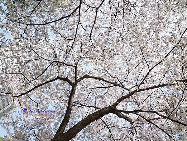 櫻之宮公園的櫻花