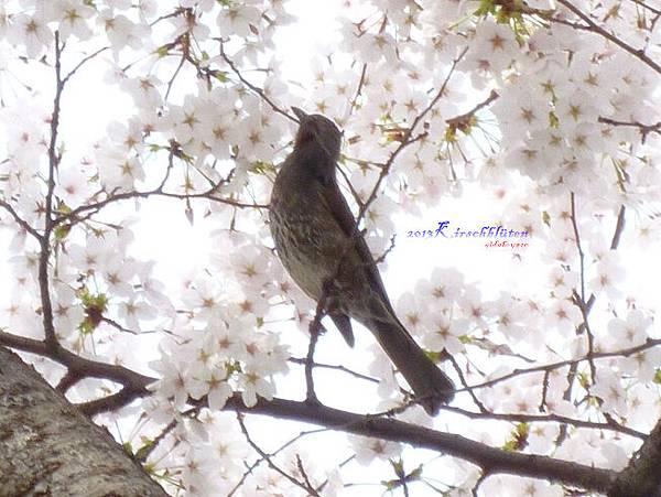 櫻之宮公園的小鳥