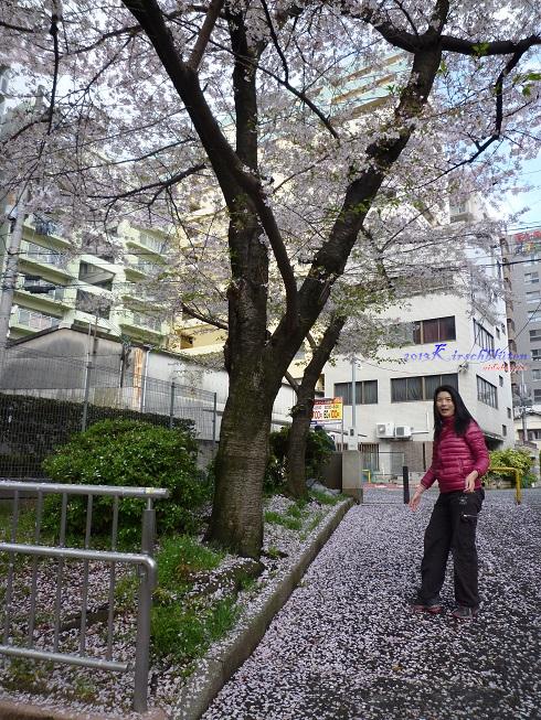 櫻之宮公園吹了一地的櫻花花瓣