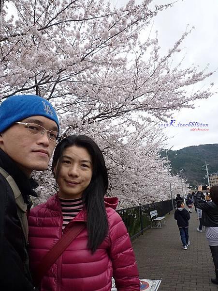 JR馬堀駅旁的櫻花