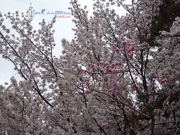 北野天滿宮櫻花、梅花交錯