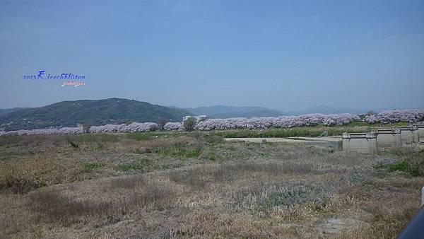 淀川河川公園背割堤櫻花