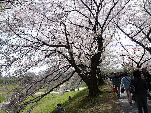 淀川河川公園背割堤的櫻花隧道