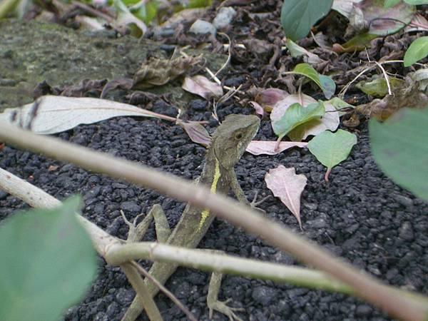 這才是小蜥蜴