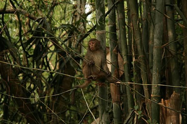 據說這群猴子昨天剛剛推翻猴王