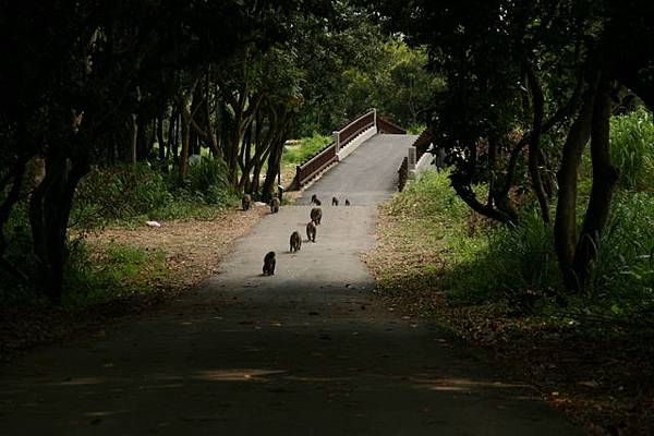 猴子突然從橋的另一端走了過來