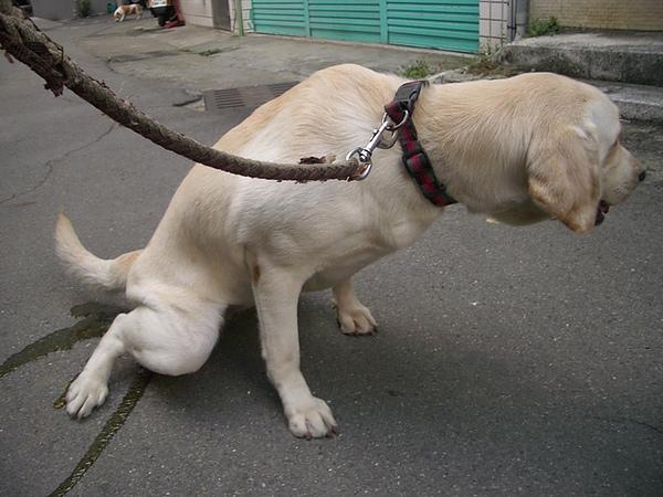 小母狗失禁了
