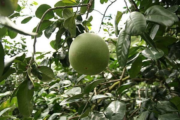 二水最有名的白柚就這樣大大方方掛在路邊的樹上