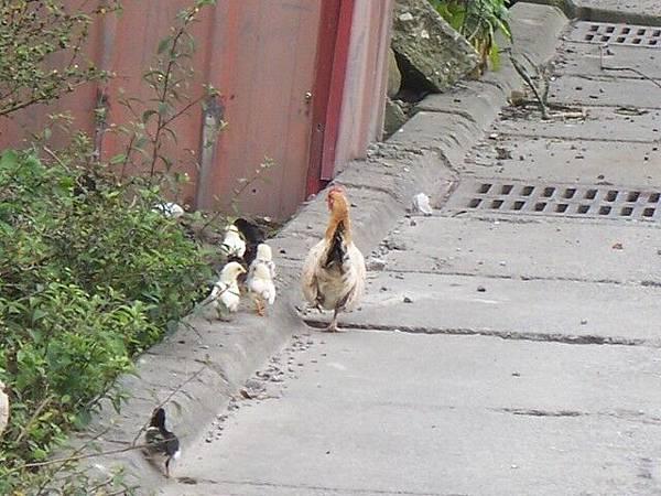 在路邊看到母雞帶小雞,趕快停車亂拍