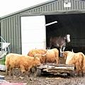 0620_12highland cows in da rain