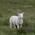 0620_79baby lamb