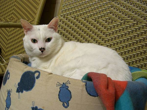 big fat white cat