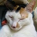睡著時便會出現老貓貓臉