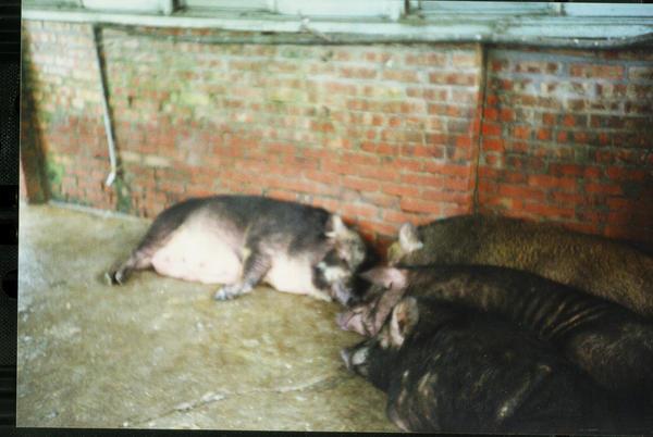 1203黑毛豬