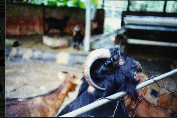 1203頭城農場羊