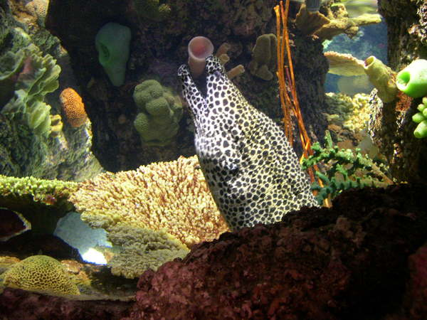 Honey Comb Moray
