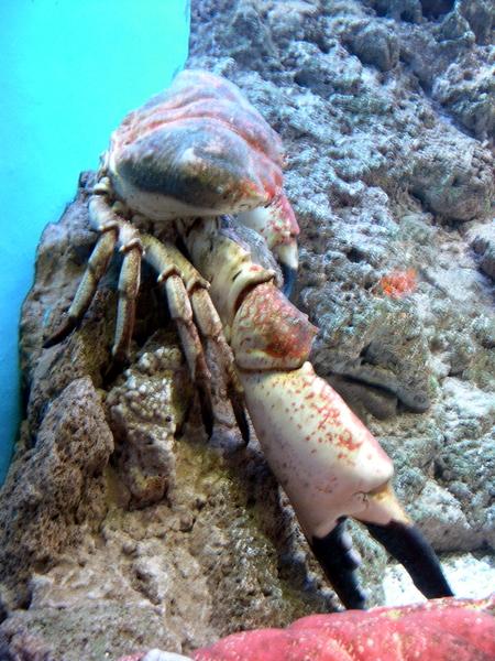 Tasmania King Crab
