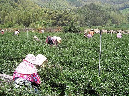 參觀嘉義石棹茶廠採茶、製茶