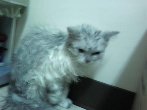 剛洗好澡~是名符其實的~落水貓.jpg