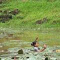 女王廟前池塘中採蓮莖做菜的少女