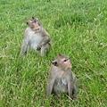 小吳哥寺外的猴子