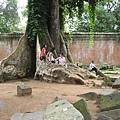 塔普倫寺的大板根樹