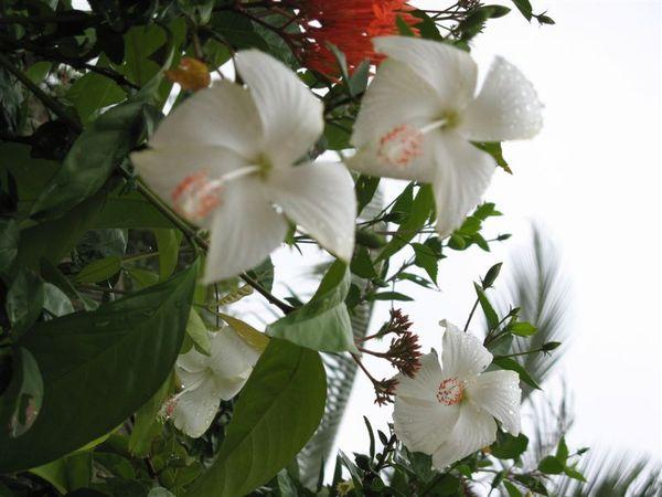 少見的白色扶桑花