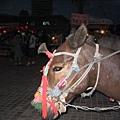 精心打扮的馬