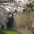 大阪城周邊的櫻花快垂到護城溝裡了。