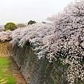 櫻花不用說是一定滿滿地開。