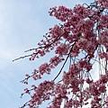 看多了白雪,這種粉嫩嫩的櫻花顯得很珍貴。