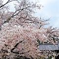 到第三天了還沒免疫,對滿開的櫻花還是會:哇哇哇地叫!