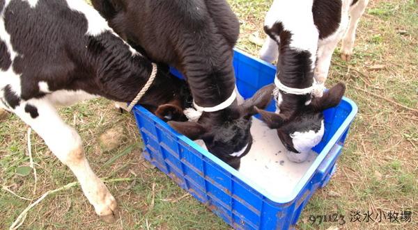 小牛喝奶.jpg