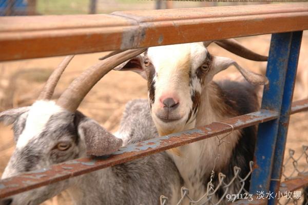 羊兒1.jpg