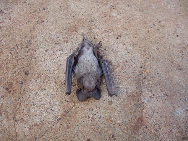 昏倒的蝙蝠.JPG