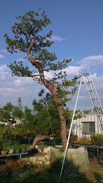 台灣 五葉松 庭園樹