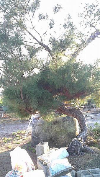 火炎山赤松 庭園木