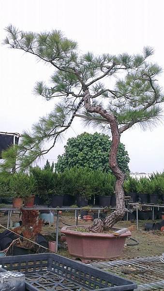 台灣 火炎山 赤松 庭園樹