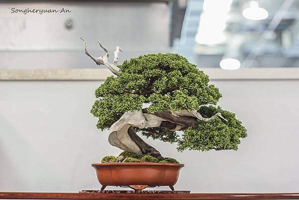 2013 華風獎小品主樹 - 真柏