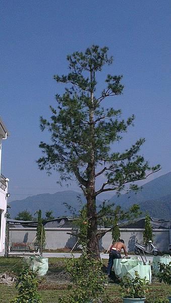 五葉松庭園樹移植