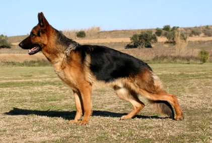 German Shepherd 德國牧羊犬